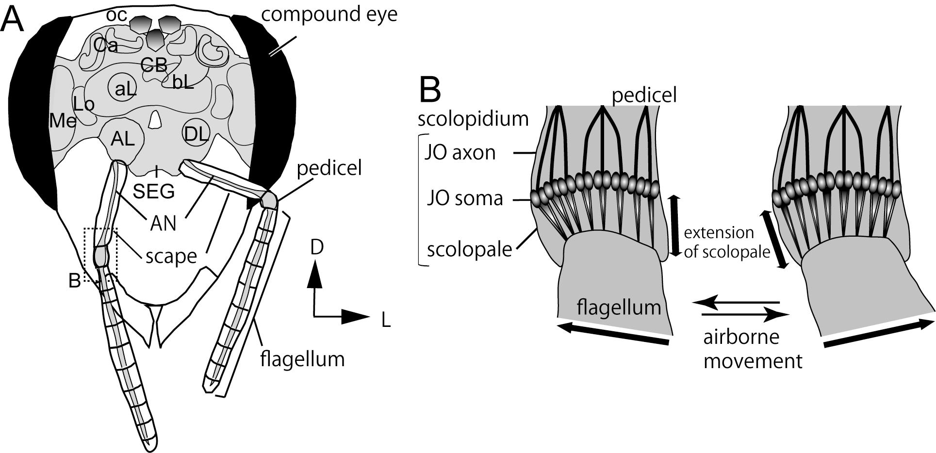 Johnstons Organ